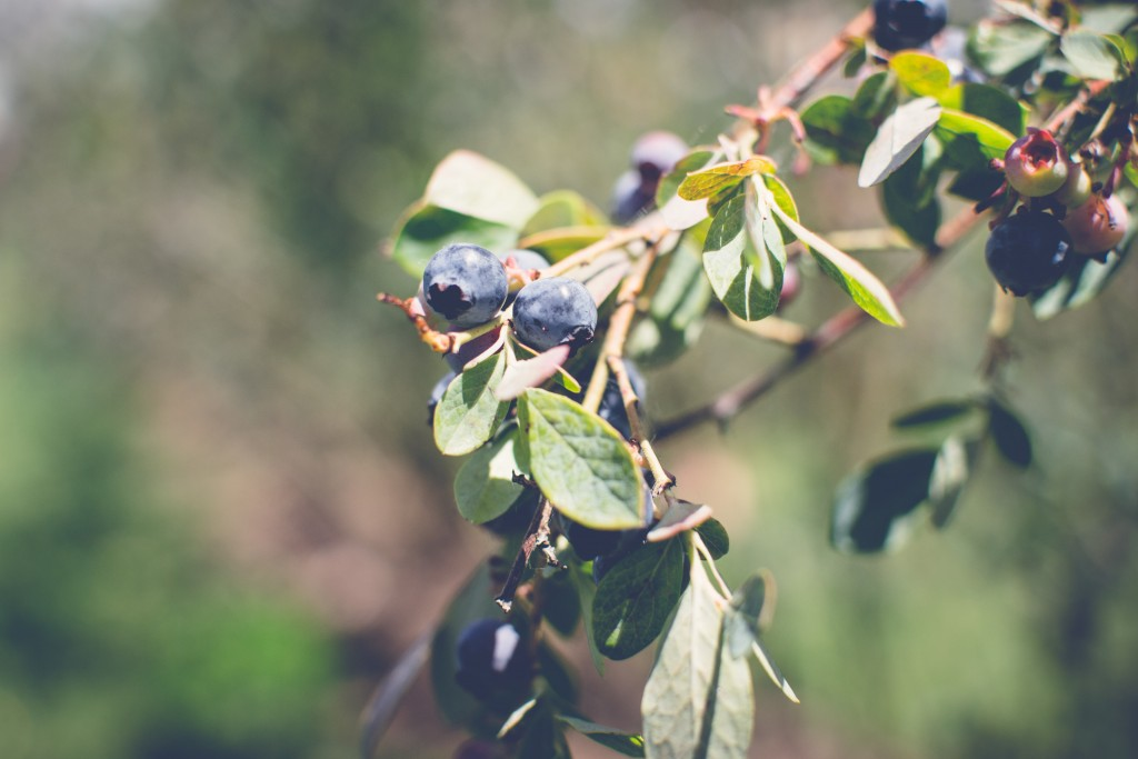 Fuchsiadale Blueberries-14