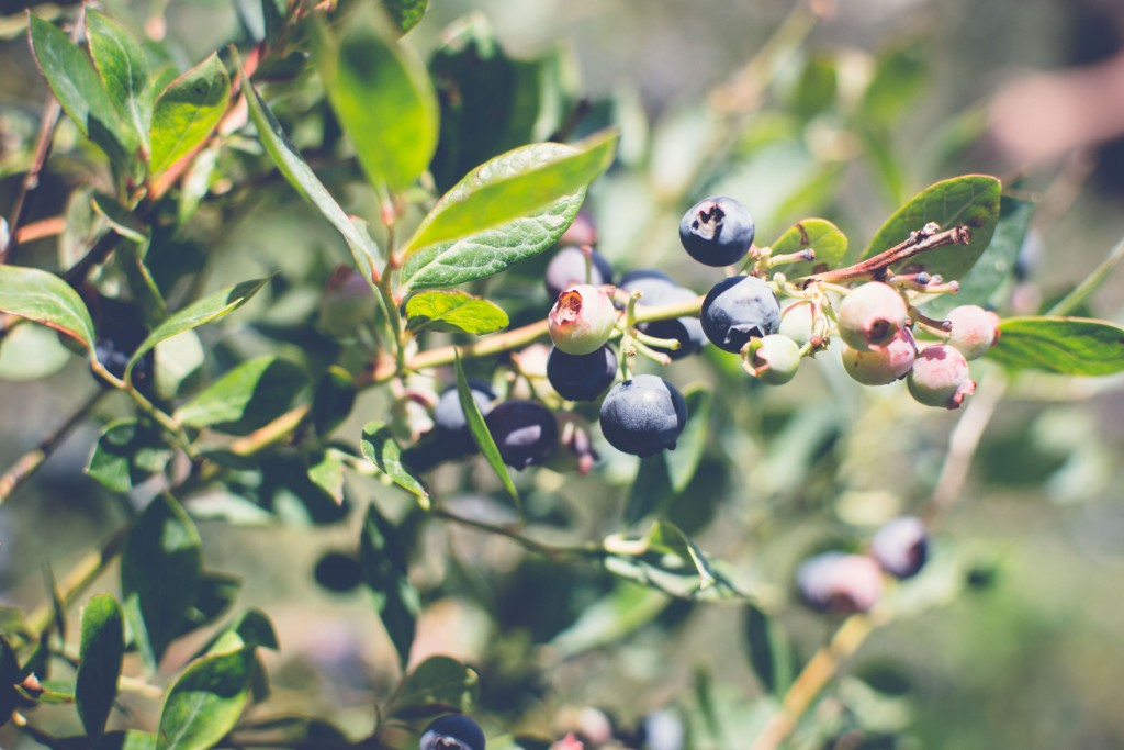 Fuchsiadale Blueberries-16